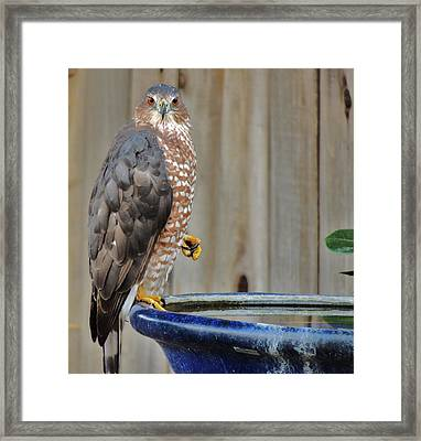 Coopers Hawk 4 Framed Print