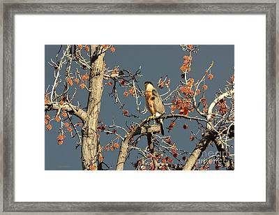 Cooper's Hawk Catches Sun In Stormy Sky Framed Print