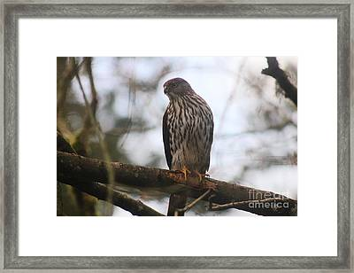 Cooper's  Hawk Dines Here Framed Print by Kym Backland