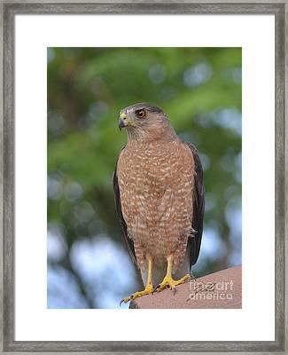 Cooper's Hawk I Framed Print
