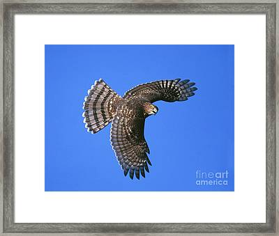 Coopers Hawk Framed Print by Jim Zipp