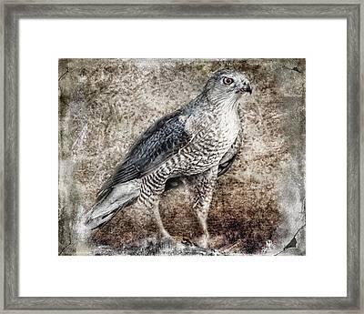 Coopers Hawk Framed Print by Melissa Bittinger