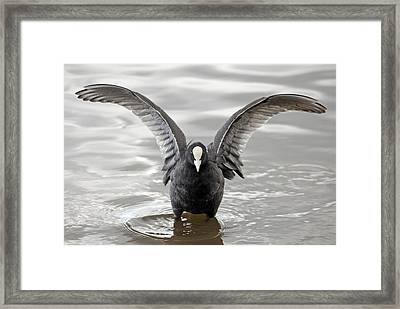 Coot In Water Framed Print by Grant Glendinning