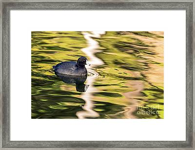 Coot Reflected Framed Print