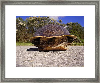 Cooter Turtle 001 Framed Print by Chris Mercer