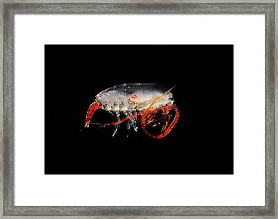 Copepod Crustacean Framed Print by British Antarctic Survey/science Photo Library