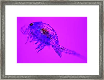 Copepod Crustacean Framed Print by Frank Fox