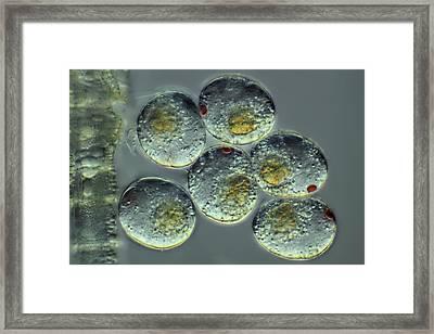 Copepod Eggs Framed Print by Frank Fox