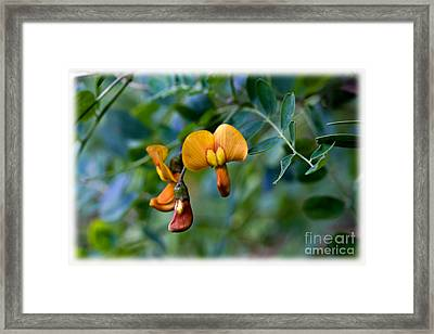 Copper Beauty Colutea Framed Print by Liz  Alderdice