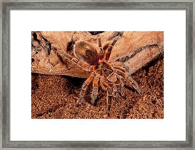 Copper Pink Burst Tarantula, Paraphysa Framed Print by David Northcott