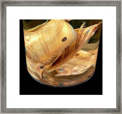 Copperband Butterflyfish Framed Print