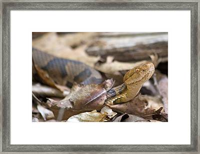 Copperhead In The Wild Framed Print