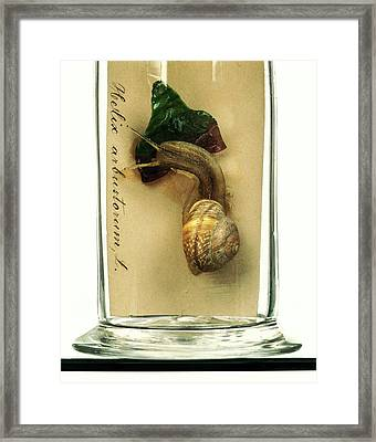 Copse Snail Framed Print by Ucl, Grant Museum Of Zoology
