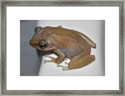 Coqui Frog Framed Print