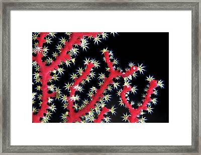 Coral (acabaria Splendens) Framed Print