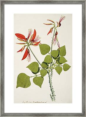 Coral Bean Tree Framed Print by Natural History Museum, London/science Photo Library
