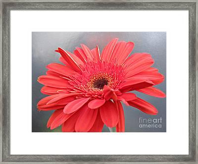 Coral Gerber Daisy Framed Print