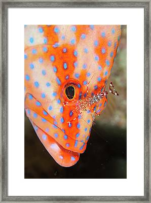 Coral Gouper With Cleaner Shrimp Framed Print by Scubazoo