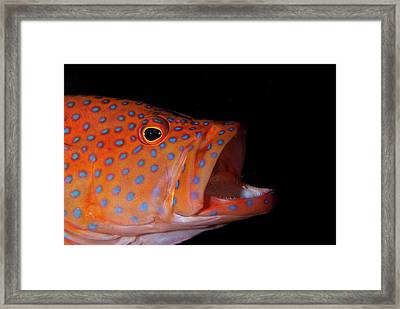 Coral Gouper With Shrimp In Mouth Framed Print by Scubazoo