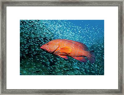 Coral Hind And Pygmy Sweepers Over A Reef Framed Print by Georgette Douwma