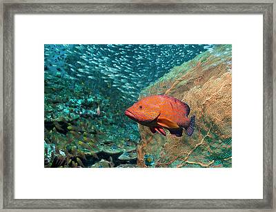 Coral Hind Over A Coral Reef Framed Print