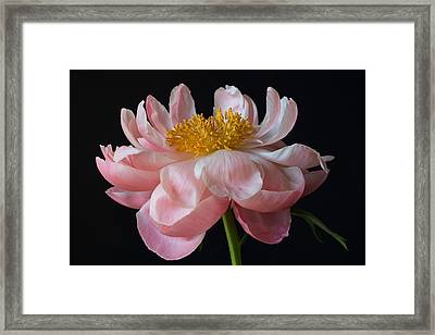 Coral Peony Framed Print