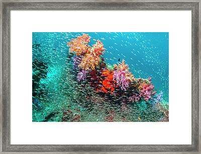 Coral Reef And Pygmy Sweepers Framed Print