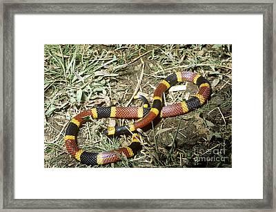Coral Snake Framed Print