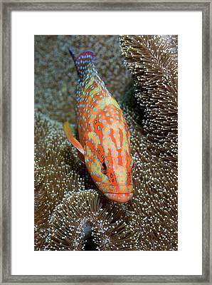 Coral Trout Or Grouper (plectropomus Framed Print