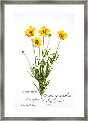 Coreopsis 1 Framed Print