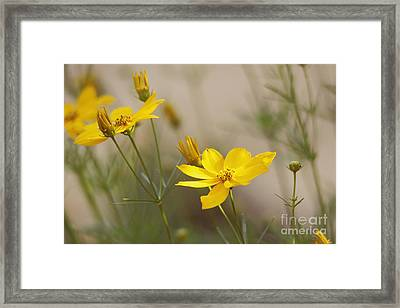 Framed Print featuring the photograph Coreopsis by Trina  Ansel