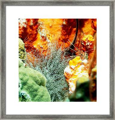 Corkscrew Anemone Grove Framed Print by Amy McDaniel