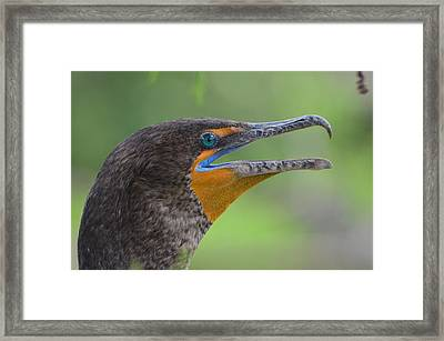 Cormorant Close Up Framed Print by Jodi Terracina