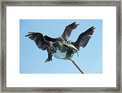 Cormorant Fishing In China Framed Print