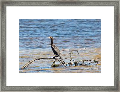 Cormorant In The Lagoon Framed Print by Natural Focal Point Photography