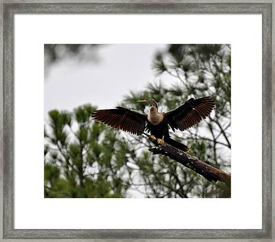 Cormorant On Jekyll Island Framed Print by Bruce Gourley