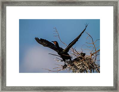 Cormorant Parent Flying Out Framed Print by Andres Leon