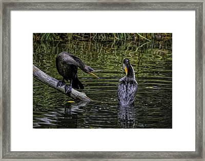 Cormorant Squabble Framed Print