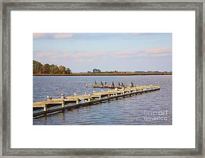 Cormorants And Seagulls On Old Dock Near Blackwater  National Wildlife Refuge Near Cambridge Md Framed Print