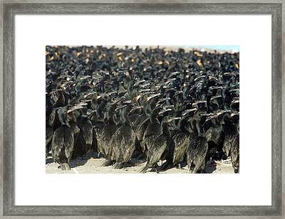 Cormorants Framed Print by Christopher Swann