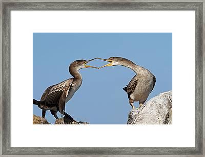 Cormorants Fight Framed Print