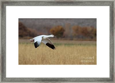 Framed Print featuring the photograph Corn And Geese by Ruth Jolly