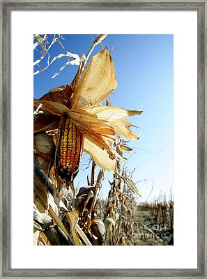 Corn And Husks In A Plantation Framed Print