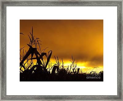 Corn At Sunset Framed Print by Erick Schmidt