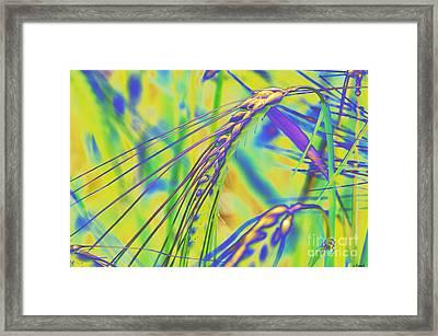 Corn Framed Print by Carol Lynch