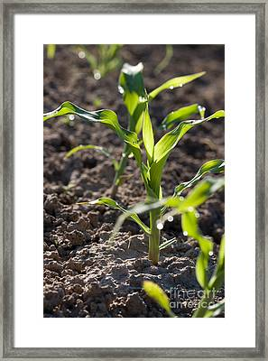 Corn Framed Print by Cindy Singleton