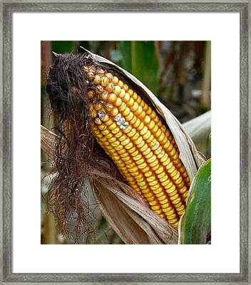 Framed Print featuring the photograph Corn Cob Dry by Jeff Lowe