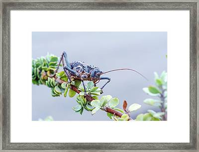 Corn Cricket Framed Print by Peter Chadwick