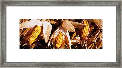 Corn Crop In A Field, Minnesota, Usa Framed Print by Panoramic Images