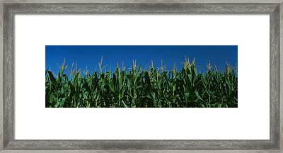 Corn Crop In A Field, New York State Framed Print by Panoramic Images